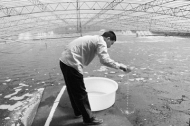 温棚养殖南美白对虾投苗关键点